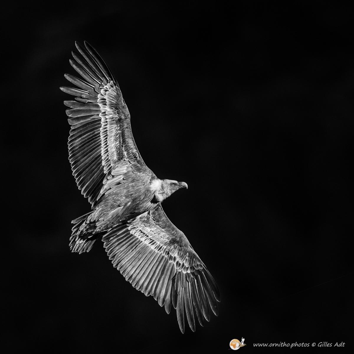 vautour fauve en N&B - © Gilles Adt