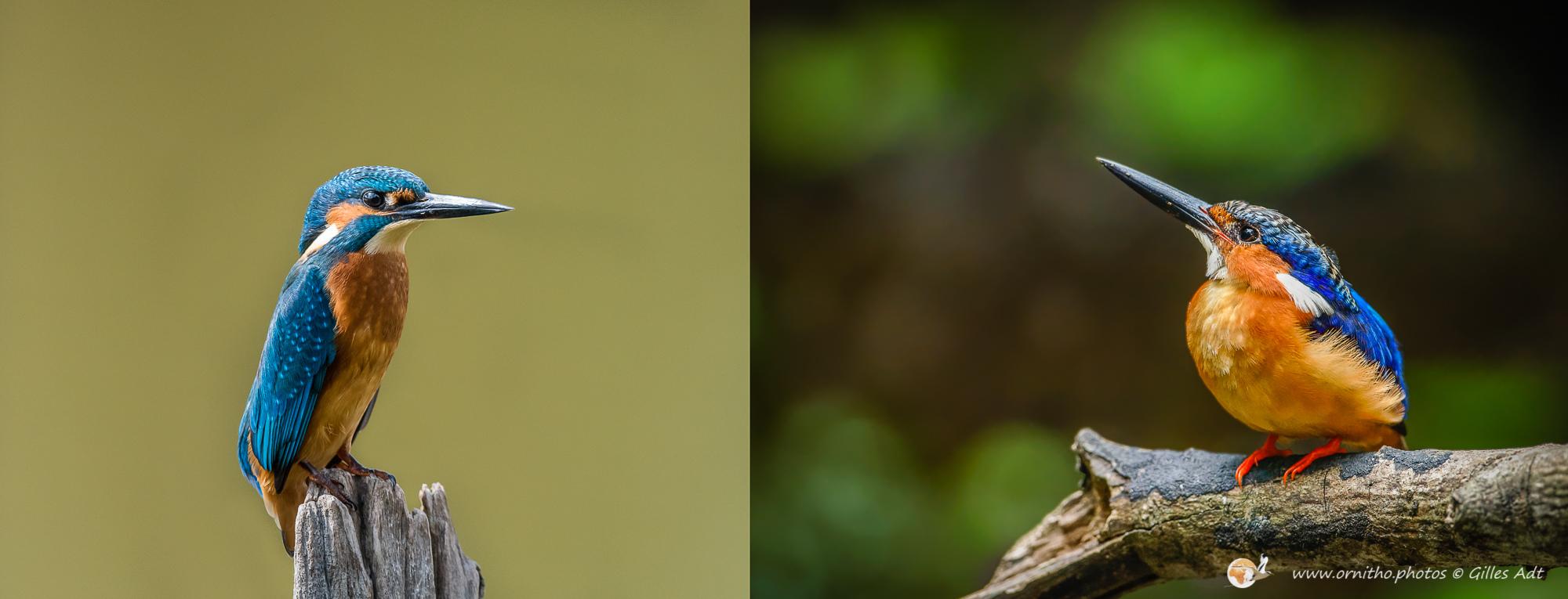 Martin-pêcheur et vintsi - © ADT Gilles