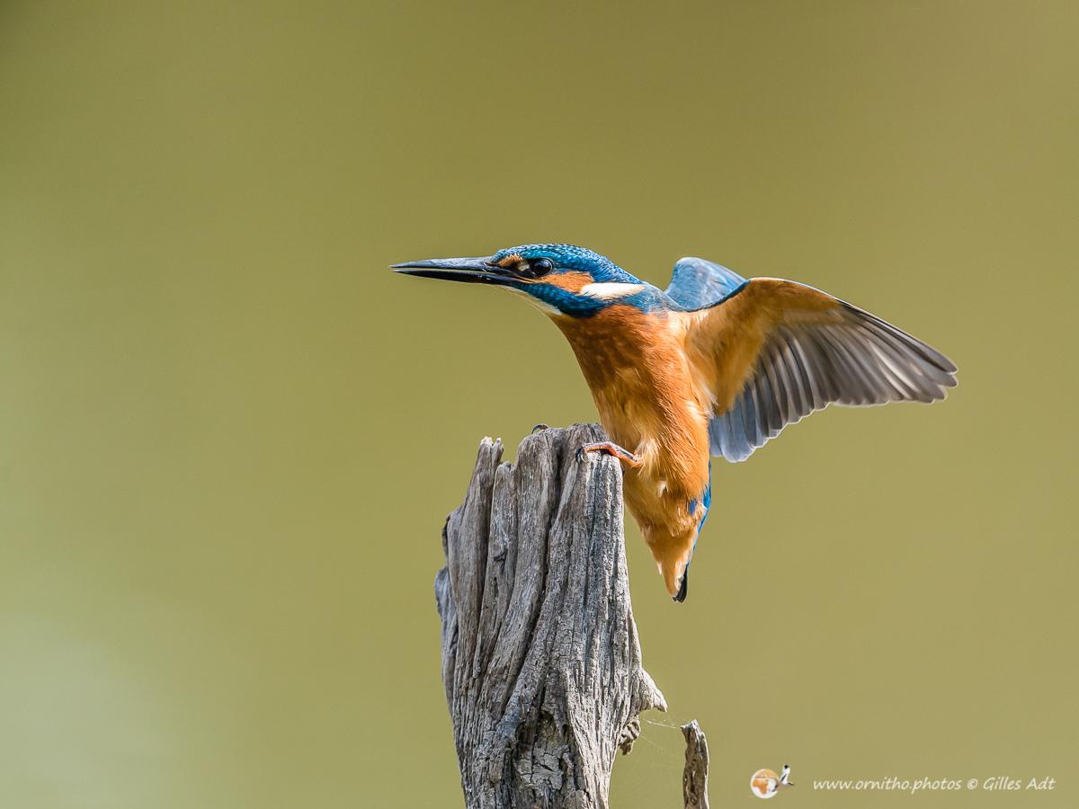 Martin-pêcheur d'Europe - © Gilles Adt