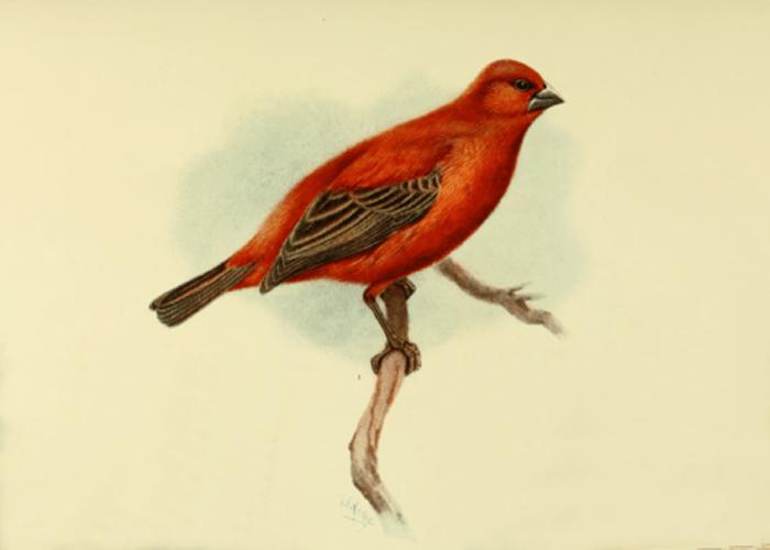 Foudy de la Réunion (Foudia delloni)
