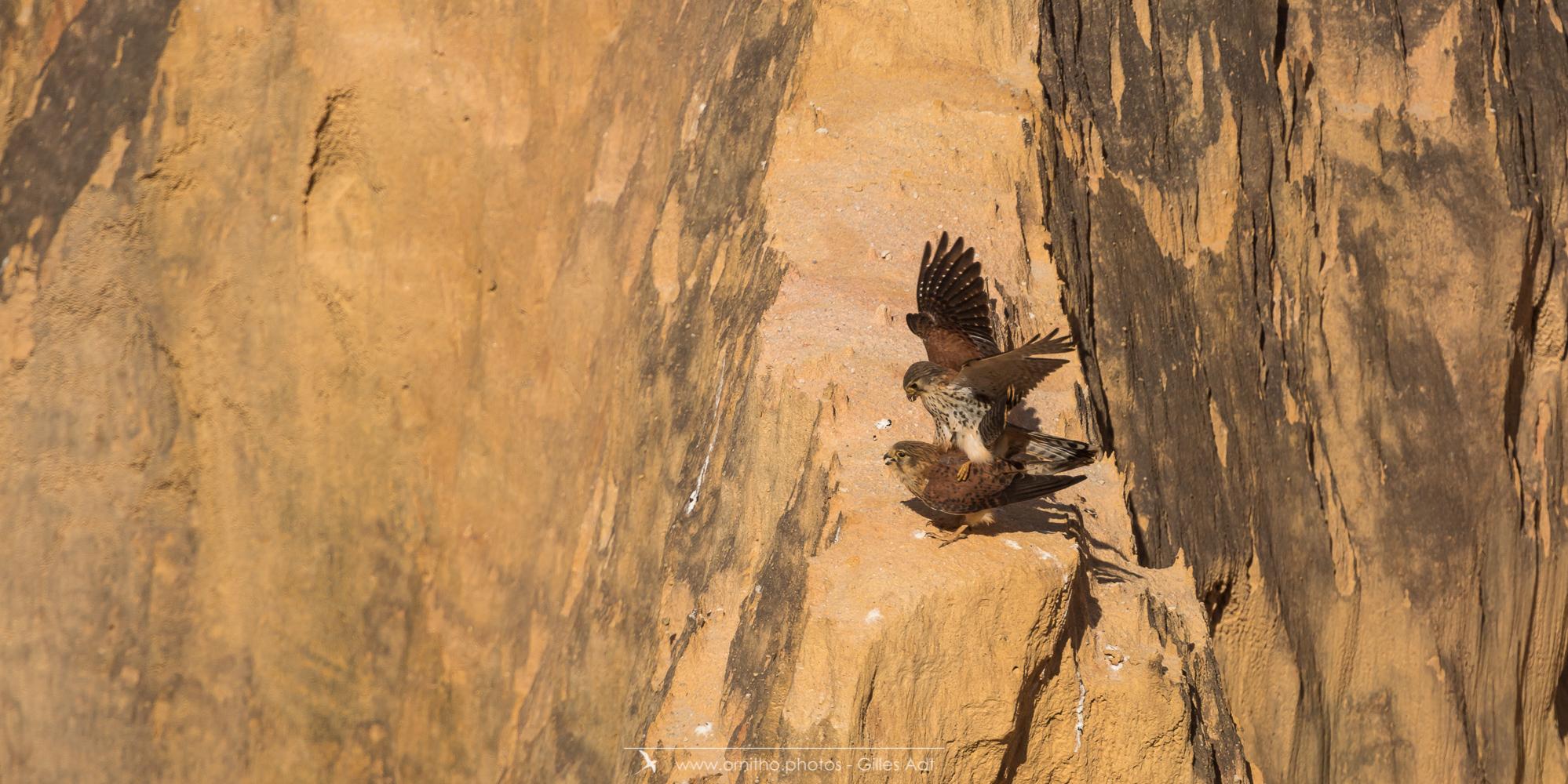 Crécerelle malgache - © Gilles Adt